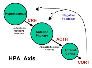 Basic_HPA_Axis2-300x224